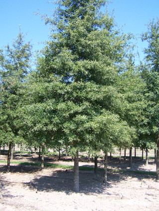 Bart Beale Bealecorp Llc Types Of Hardwood Trees Found In Texas
